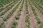 kartupelu lauks