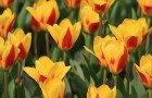 tulpes