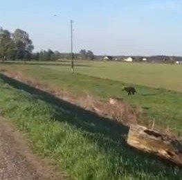 Pie Carnikavas lācis skrien pāri pa laukiem un ceļiem