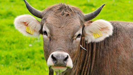 Valdība piensaimniekiem piešķir 6 miljonus