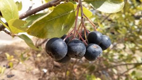 Aroniju audzētāji meklē ražas pārdošanas iespējas