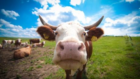Govju audzētāji sola izdzīvot