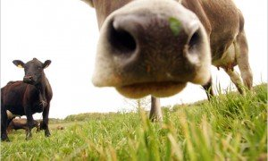 31tlab_cows1.480