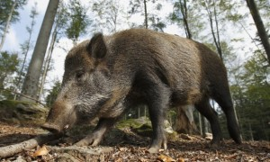 wild-boar_SS_118877125_110513-617x416