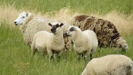 Līdz ar aitkopību attīsta gaļas pārstrādi