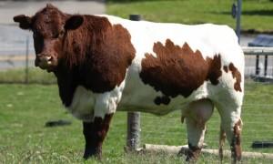 cow-730x441