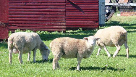 Amatas novadā aitas sargā suņi