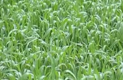Zemnieki šogad cer uz labu ražu