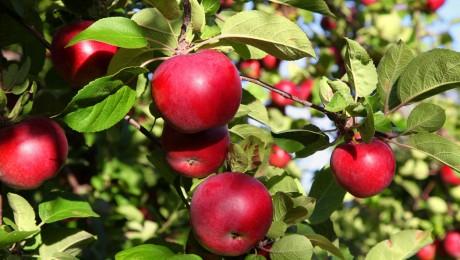 Latvijā dižākā ābele – Skrundas novadā