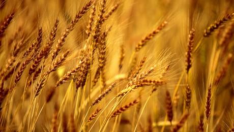 Zemnieki steidz novākt labību – raža būs labas