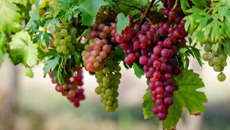 Kurzemē populāra ogu vīna darīšana