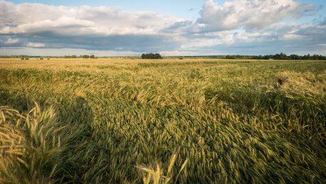 Labība sagāzta veldrē, bet zemnieki sākuši kult