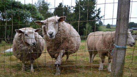 Viļakas novadā attīstās aitkopība